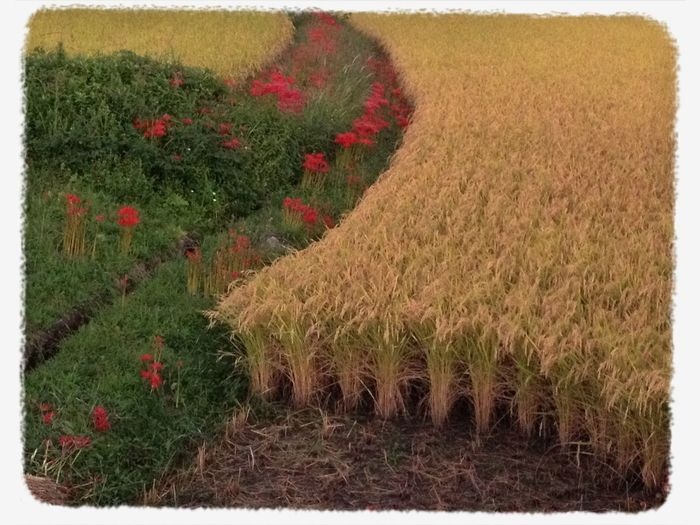 Japan Autumn EyeEm Nature Lover Flowers rice field with red spider lilies.