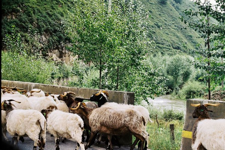 Canon Film Livestock Domestic Animals Tree Animal Themes Mammal Sheep Ae-1 Grazing No People Outdoors Day Flock Of Sheep Agriculture Rural Scene Large Group Of Animals Grass Growth Rustic Beauty In Nature