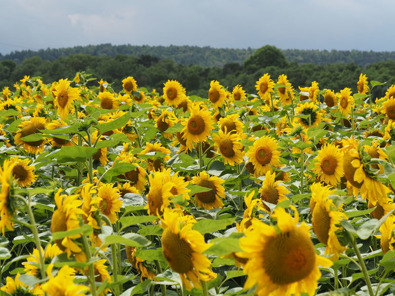 Sunflower- field. Check This Out Taking Photos Hello World Flowerporn Flower Head Sunflower🌻 Beauty Of Nature Natureporn EyeEm Nature Lover First Eyeem Photo Capture The Moment With My Eyes Nature Sunflowers Field Sunflowers🌻 Nature Photography Nature On Your Doorstep