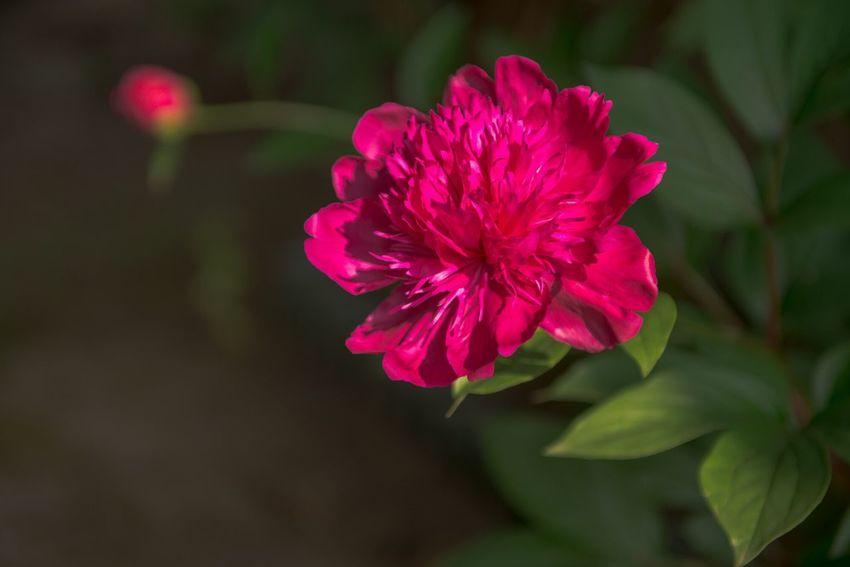 奥州市 水沢 東北 Oshu Japan Flower シャクヤク Peony