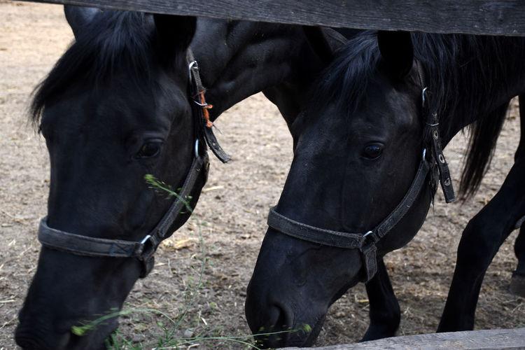 Portrait of two beautiful hungarian gidran horses in an open, outside barn