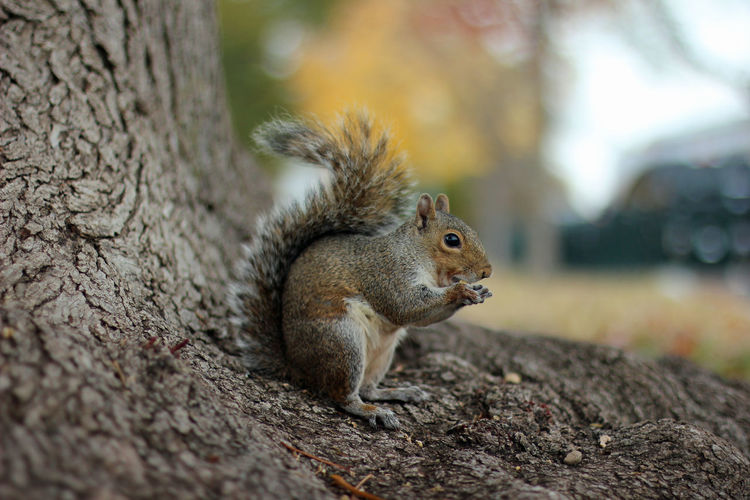 Close up of a gray squirrel sitting on the roots of a tree