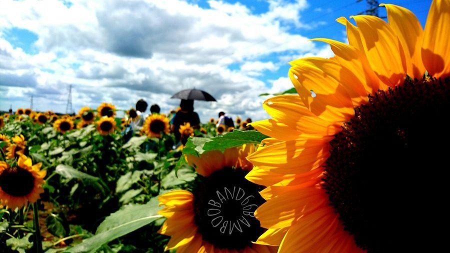週末にはやっと梅雨明けしそう~🎵(*≧∀≦*) Relaxing Enjoying Life Japan Blue Sky Good Memory Holiday Memories Holiday♡ Sunflowers🌻 Summer Views Summertime Summer2016 Summer Flowers