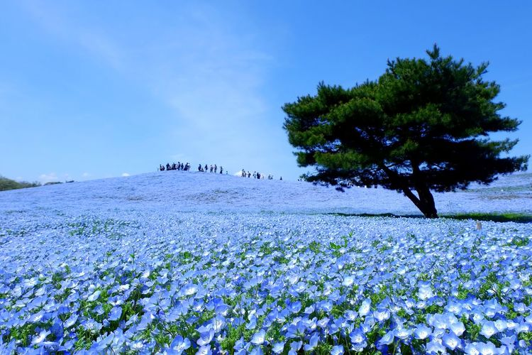 Flower Beauty In Nature Japan Photography Japan ネモフィラ Nemofira Blue ひたちなか海浜公園 Fujifilm_xseries Sky JP
