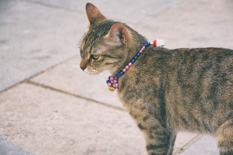 Close-Up Of Cat Wearing Necklace On Footpath