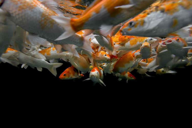 School of koi carp swimming in aquarium