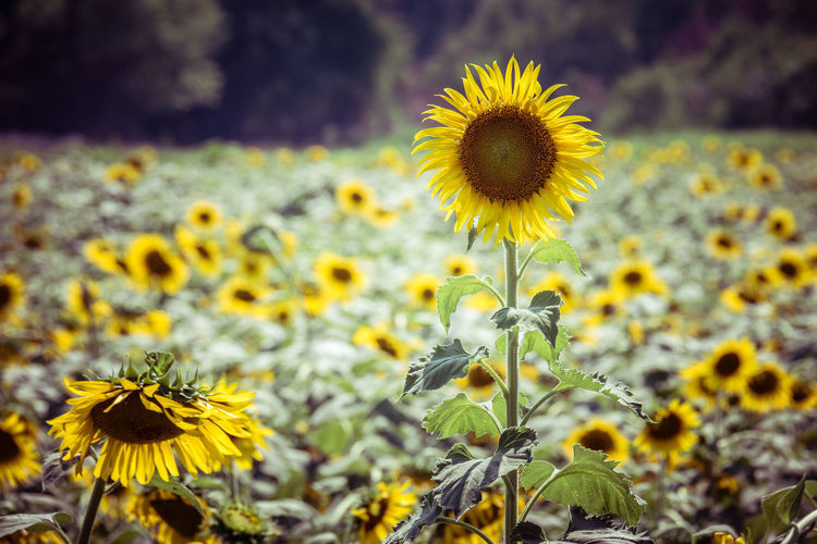 Close-Up Of Sunflowers Blooming On Field