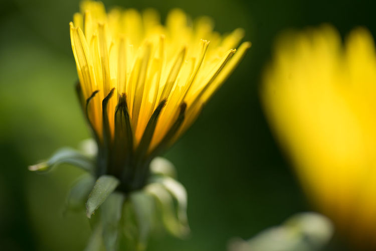 Flower in light Freshness Flower Flowering Plant Vulnerability  Fragility Plant Close-up Beauty In Nature Yellow Growth Petal Selective Focus Inflorescence Flower Head No People Nature Day Vibrant Color Botany Pollen Sepal Spaghetti