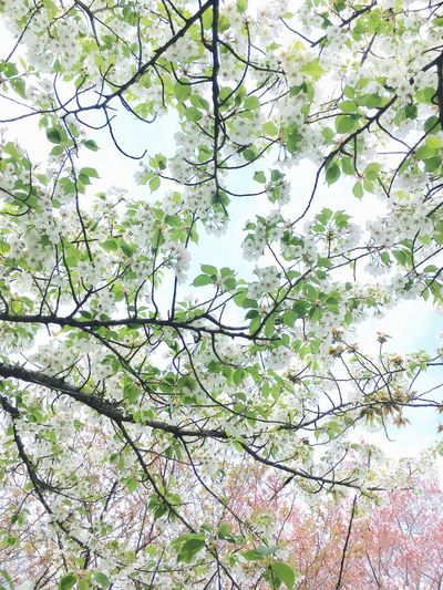 Beauty In Nature Green Color Low Angle View Springtime Flower Sky Sakura2017