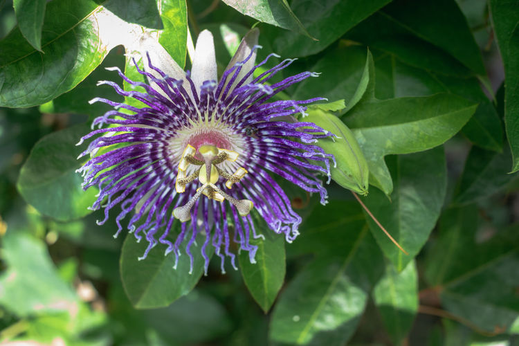 Flower Flowering Plant Freshness Plant Beauty In Nature Fragility Vulnerability  Growth Inflorescence Flower Head Petal Close-up Leaf Purple Plant Part Passion Flower Pollen Nature No People