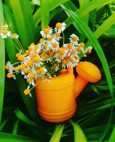 Flower Orange Color Freshness Nature Leaf Plant Fragility Close-up No People Beauty In Nature Flower Head Day Indoors  ЛАЙК👍✌ Adults Only Adult Human Hand Nature Real People People вода💧 небо, море, облака зеленый вкусно Healthy Eating