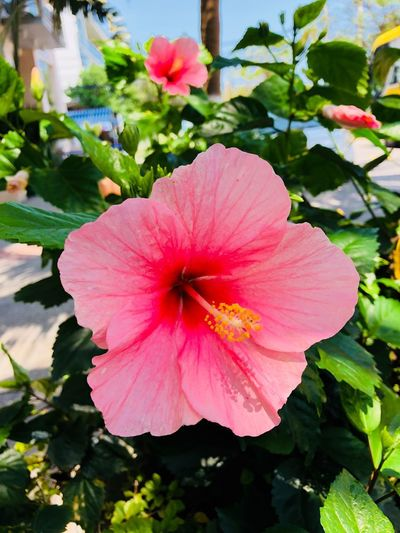 Flower Flowering Plant Plant Petal Fragility Vulnerability  Freshness Beauty In Nature Flower Head Inflorescence Growth Pink Color Pollen Nature Close-up Outdoors Hibiscus No People Leaf Day
