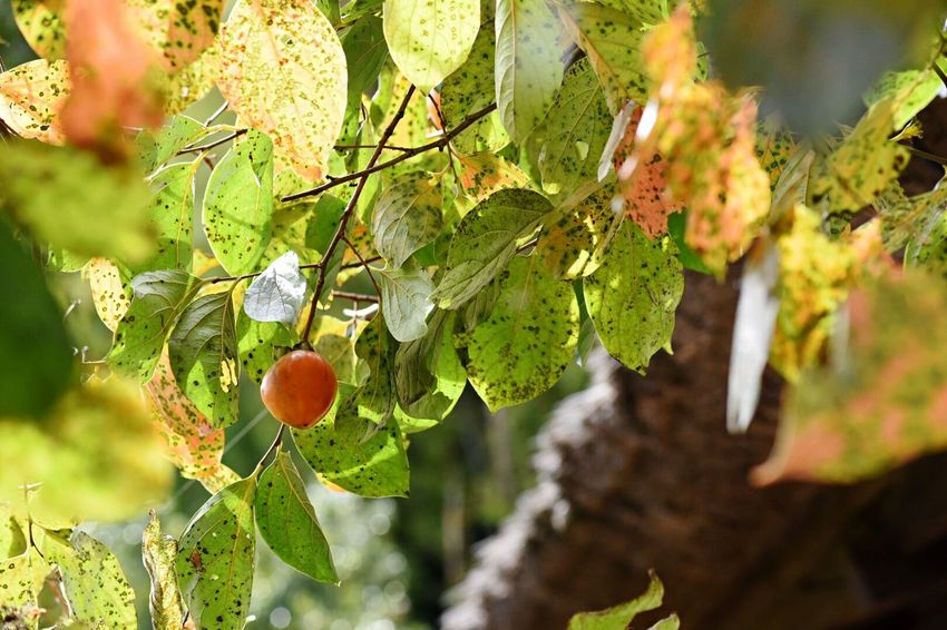 Autumn Collection Leaf Plant Part Growth Plant Day Green Color Close-up Focus On Foreground Fruit Tree Branch Sunlight