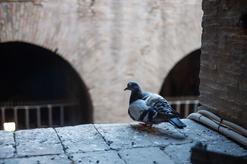 A lonely pigeon. Colosseo, Rome, Italy. Colosseo Rome Animal Themes Animal Wildlife Animals In The Wild Arch Architecture Bird Built Structure Day Fujifilm Fujifilm_xseries Italy Nature No People One Animal Outdoors Perching Pigeon Retaining Wall Rock - Object