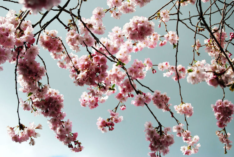 Low Angle View Of Pink Flowers Blooming On Branches