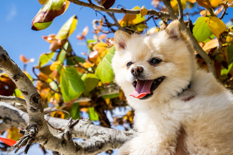 One Animal Animal Animal Themes Vertebrate Mammal Canine Dog Domestic Domestic Animals Pets Plant Part Leaf Plant Mouth Open Mouth Tree Branch Focus On Foreground Day Nature No People Outdoors Pomeranian Animal Head