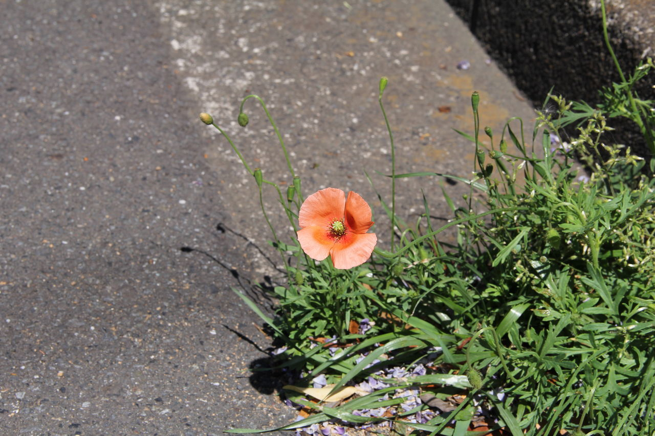 High Angle View Of Orange Flower Blooming On Road