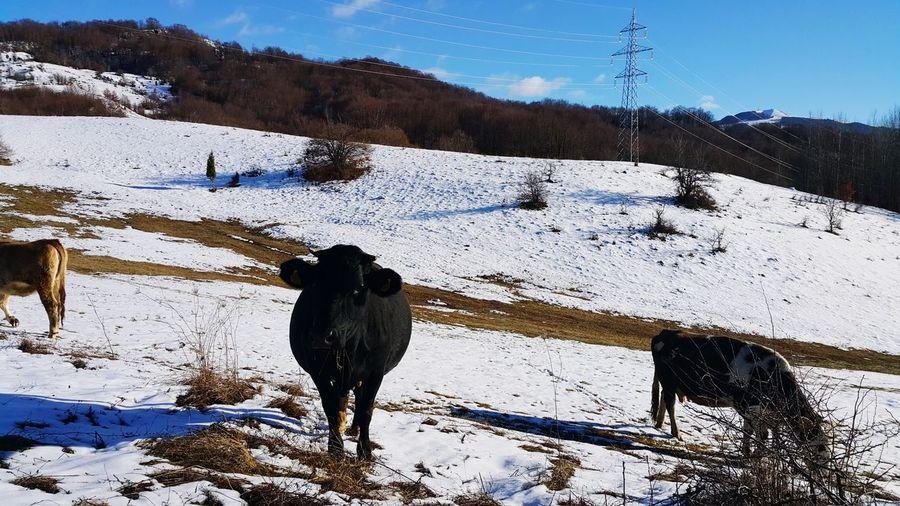 Landscape Cow's Snow Cold Temperature Winter Mountain Animal Themes Sky Landscape Frozen