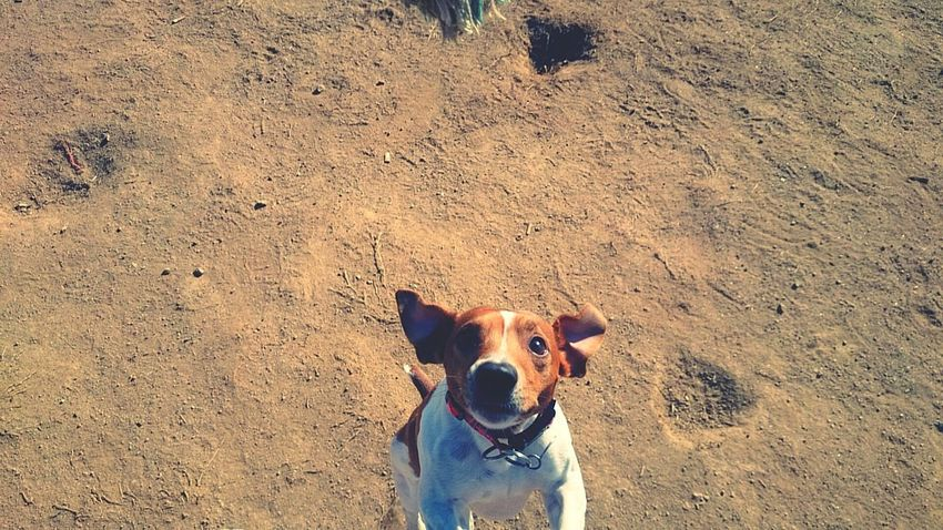 Happy dog Jackrussellterrier Jackrussell Jrt Dog Happydog