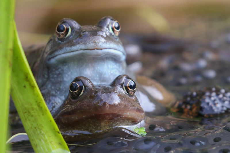 Pair of mating frogs Animal Themes Animal Animal Wildlife Animals In The Wild Vertebrate One Animal Close-up Portrait Water Amphibian Animal Body Part Reptile Looking At Camera Day Animal Head  Nature Focus On Foreground No People Underwater Animal Eye Marine