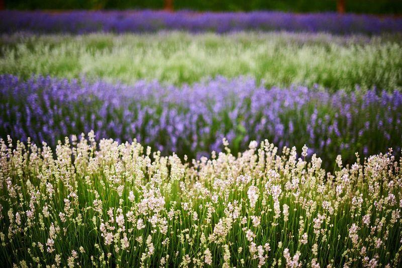 Lavender Farm. Outdoors Plants Lavender