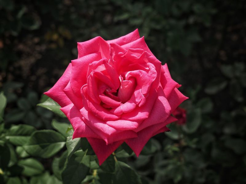 Flower Petal Rose - Flower Flower Head Nature Fragility Beauty In Nature Red Plant Pink Color Close-up Freshness No People Outdoors Peony  Rose Petals Day Growth Springtime Leaf