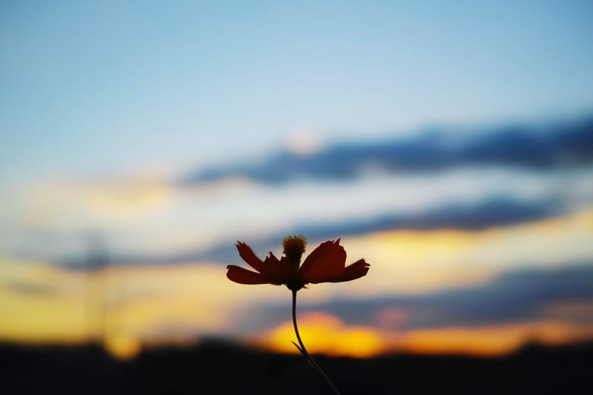 DP2 Quattro Landscape Portraits Sky EyeEm Best Shots Minimalism Twilight Nature EyeEm Nature Lover EyeEm Flower Flower 花 キバナコスモス