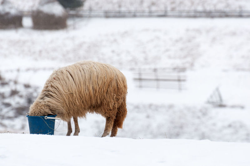 Sheep eating food in bucket on snow covered land