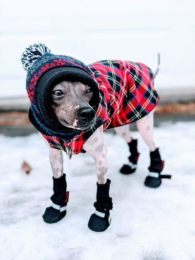 Close-up of dog dressed warmly in the snow