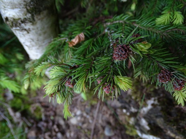 Beauty In Nature Branch Close-up Coniferous Tree Day Fir Tree Focus On Foreground Green Color Growth Land Leaf Lichen Nature Needle - Plant Part No People Outdoors Pine Cone Pine Tree Plant Plant Part Selective Focus Tranquility Tree