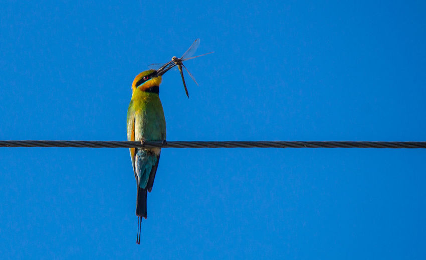 Rainbow Bee-eater eating a Dragonfly Birding Dragonfly Animal Themes Animal Wildlife Animals In The Wild Beauty In Nature Bee Eater Bird Bird Eating Blue Clear Sky Close-up Day Eating A Dragonfly Low Angle View Nature No People One Animal Outdoors Perching Rainbow Bee Eater Shepparton