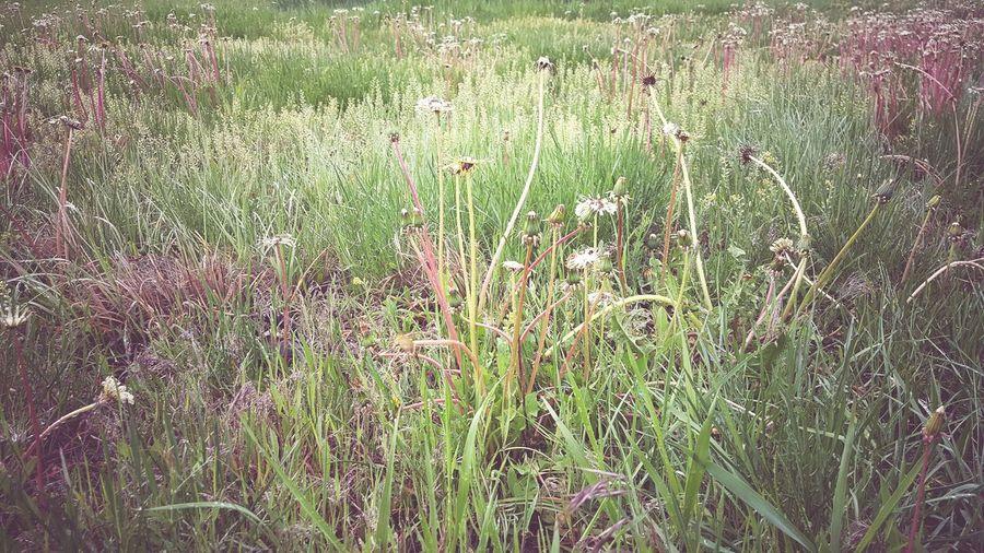 Dandelion fields.