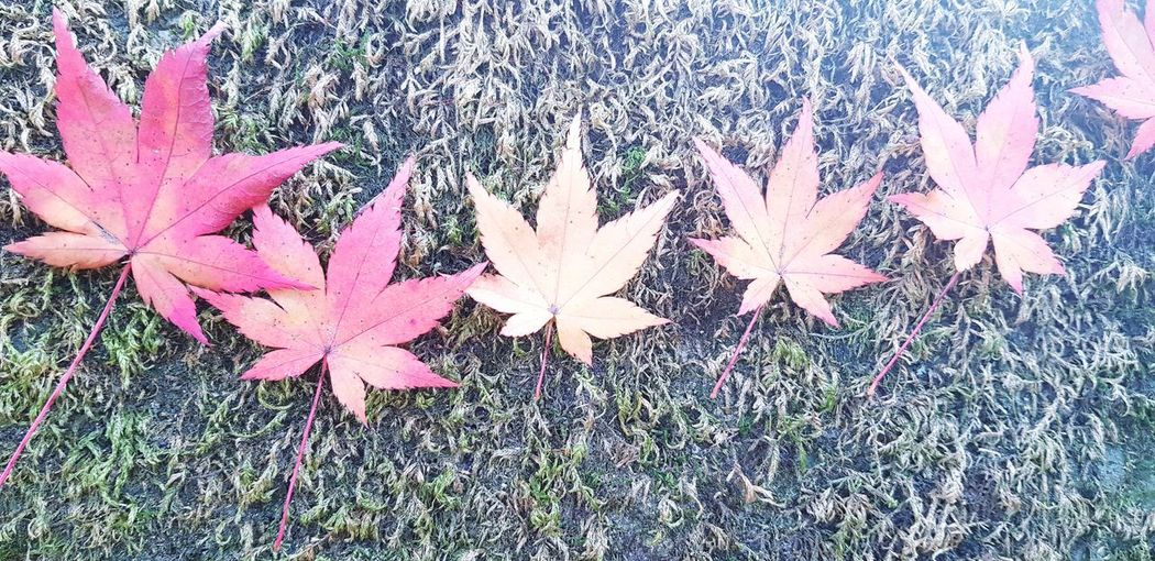 High angle view of maple leaves on land