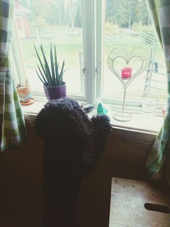 Bella Window Looking At Birds American Cocker Spaniel