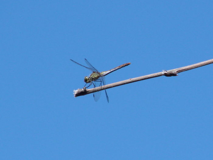 Dragonfly on stick against clear blue sky