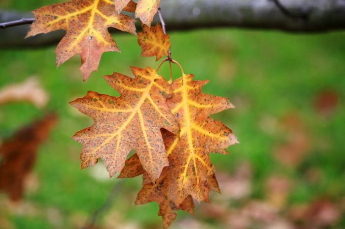 Autumn leaves Marijampolė Artofphotography EyeEm Selects Naturephotography Forest Photography Forest Forestwalk Plant Nature Leaf Autumn Maple Leaf Vine - Plant Change Close-up Leaves Autumn Collection Plant Life Fall