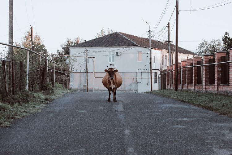 Portrait of cow walking on road