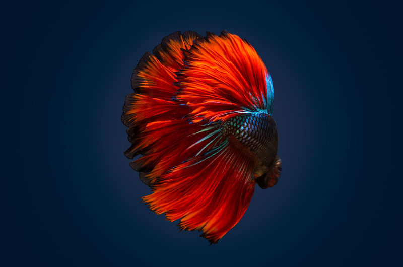 EyeEmNewHere Animal Themes Animal Wildlife Animals In The Wild Beauty In Nature Blue Close-up Fighting Fish Multi Colored Nature No People One Animal Sea Life Studio Shot Swimming UnderSea Underwater Water