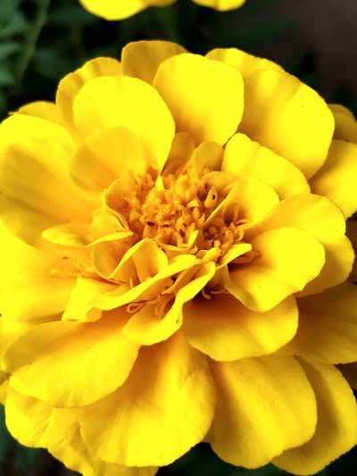 Flower Flowering Plant Petal Fragility Vulnerability  Inflorescence Flower Head Yellow Beauty In Nature Pollen Close-up