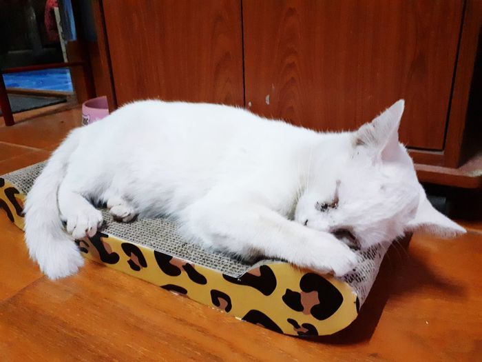 Pets Dog Animal Themes Close-up Feline Carnivora Cat Big Cat Siamese Cat Persian Cat  Doormat Whisker Domestic Cat Sleeping Pet Bed Tabby Home Kitten Ginger Cat At Home Stray Animal Yellow Eyes Tabby Cat