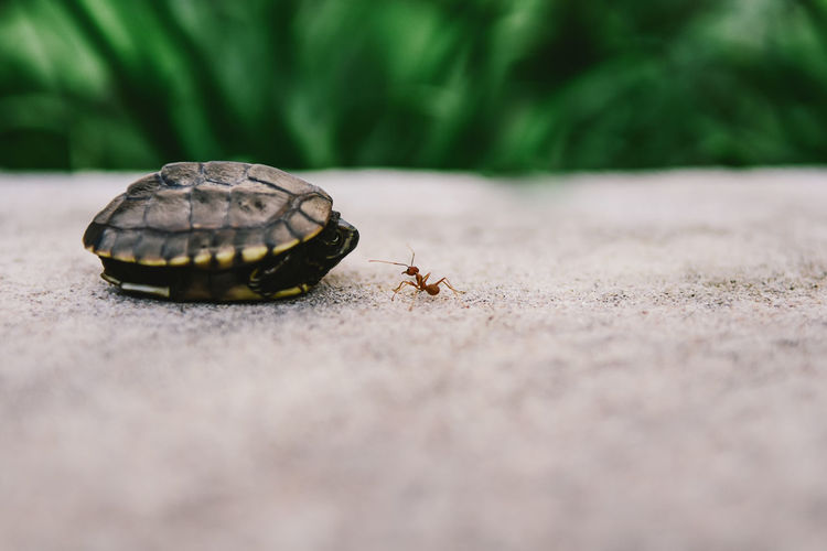Close-up of tortoise with insect on road