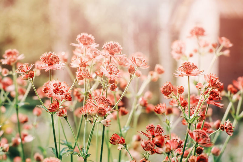 close up of blooming astrantia major in summer garden. Beautiful perennial for herbaceous border. Flower Flowering Plant Plant Beauty In Nature Freshness Growth Close-up Petal Nature Flower Head Day Pink Color Outdoors Red Astrantia Garden Garden Photography Summer Summertime Garden Flowers