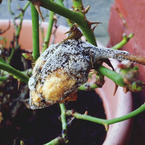 The Rose bud that didn't make it to flower Rose Bud January2016 Rosebud Rose🌹 Decay Thorns Rose Bush Rotten Plant Life Plant Photography What Do You See? Mouldy Lookingmouldy Mildew Flower Head Unlucky Flower Collection Closed Flower Its Cold Outside Roses Rosebush Botany Macro_flower Flower Dying Flower