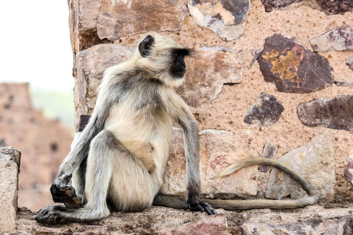 One Animal Animal Themes Animals In The Wild Wildlife Focus On Foreground Full Length Mammal Zoology Outdoors Day No People Monkey Nature Langur India Ranthambore National Park Ranthambore Ranthambore Fort
