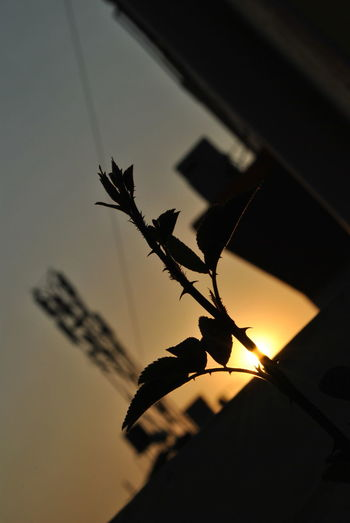 Beauty In Nature Change Close-up Day Leaf Nature No People Outdoors Plant Rose Plant Silhouette Silhouette Sunbeam Sunset Tecnology The City Light The Purist (no Edit, No Filter)