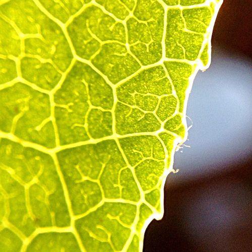 Detail shot of green leaf
