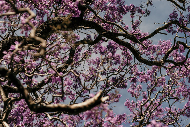 Flowering Plant Flower Tree Plant Branch Pink Color Blossom Growth Beauty In Nature Springtime Low Angle View Fragility Nature Freshness Vulnerability  Day Botany Cherry Blossom No People Cherry Tree Outdoors Spring Jacaranda