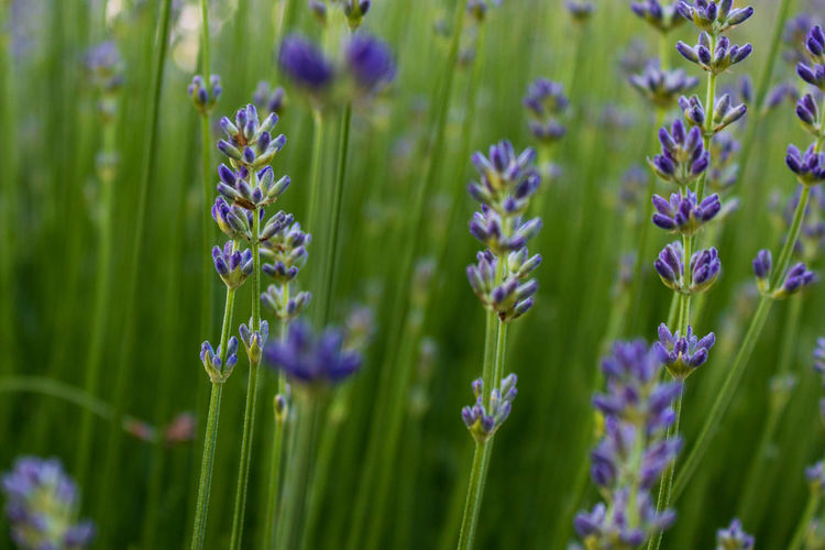Lavender flowers (Lavandula angustifolia) blooming in a field, macro and selective focus Angustifolia Aroma Aromatic Background Bloom Blossom Close Up Closeup Countryside Daylight Detail Europe Field Flora Floral Flower Flowering Flowers Fragrance Fragrant France Fresh Garden Germany Green Herb Lamiaceae Lavandula Lavendel Lavender Leaf Lilac Meadow Medicinal Mediterranean  Natural Nature Ornamental Outdoors Plant Provence Purple Summer Violet Selective Focus Close-up Beauty In Nature Flowering Plant Freshness Growth