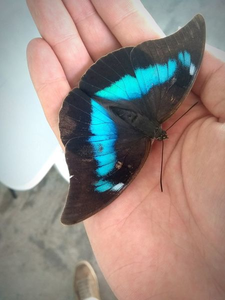 Human Body Part One Person Human Hand Human Finger Adults Only Adult People Close-up Holding Blue Day Young Adult Butterfly Blue Butterfly Contrasting Colors Vivid Blue Insect Flying Insect Butterfly ❤ Hand Beauty In Nature
