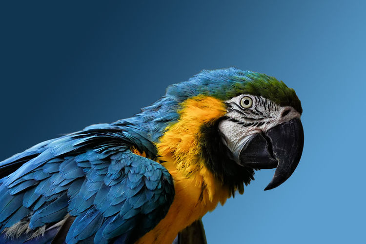 Animal Wildlife Bird Animal Themes Parrot Gold And Blue Macaw One Animal Close-up Nature Macaw Profile View Low Angle View Animal Head  Zoo Animals  Animal